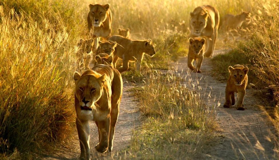fakta om lejon
