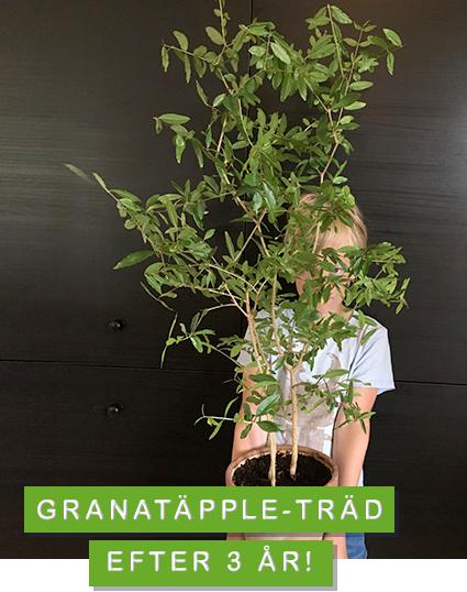 odla granatäpple från frö